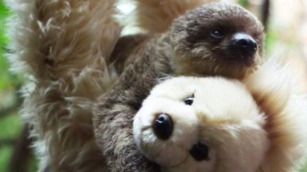 Baby sloth gets soft toy 'surrogate mother' at London Zoo - BBC News