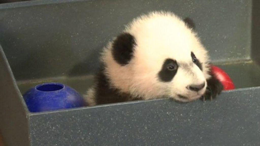 Panda makes Washington zoo debut - BBC News