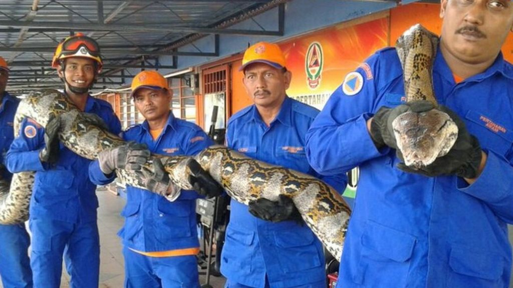 'Longest-ever' captured python dies