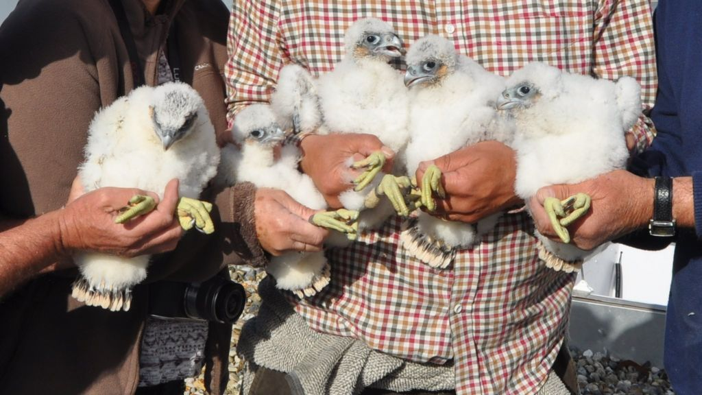 Peregrine falcons ringed on ipswich waterfront s the mill bbc news