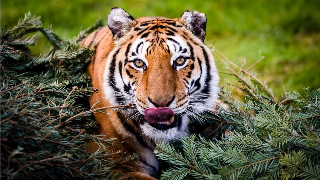 World tiger numbers show increase