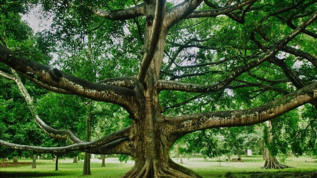 La incre ble historia del rbol que m s ha influido en la for Arboles sombra jardin