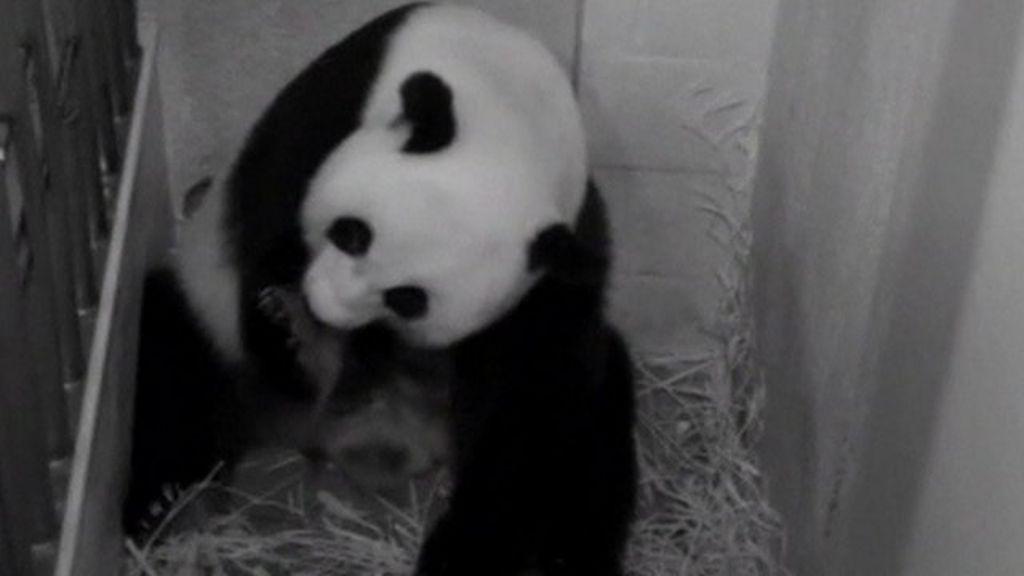 Washington Zoo welcomes Mei Xiang's new panda cub - BBC News