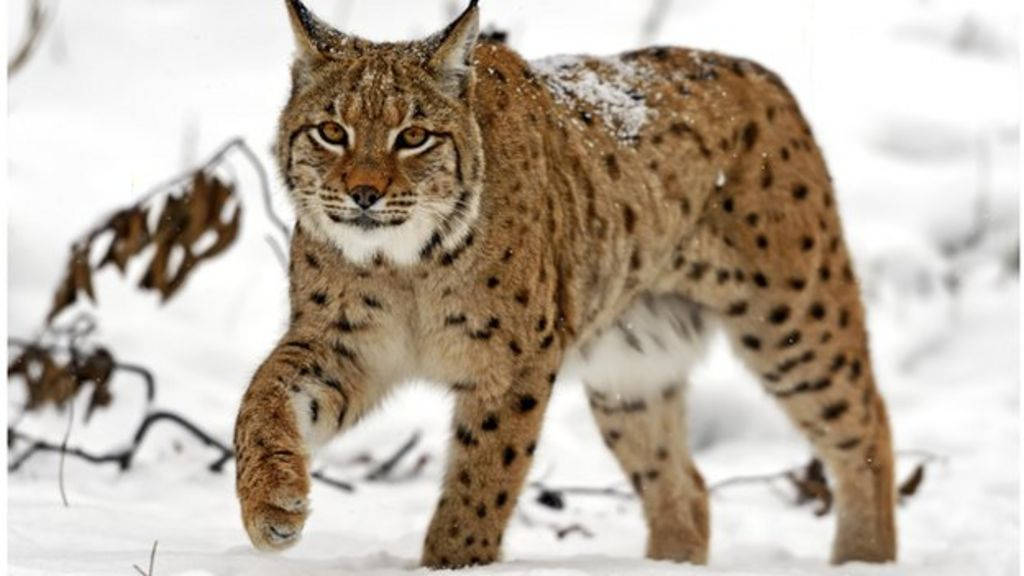 call for lynx and wolf reintroduction