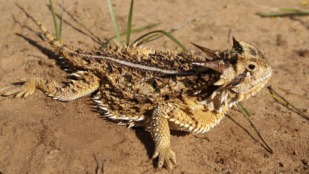 [Image: _84396105_texas_horned_lizard.jpg]