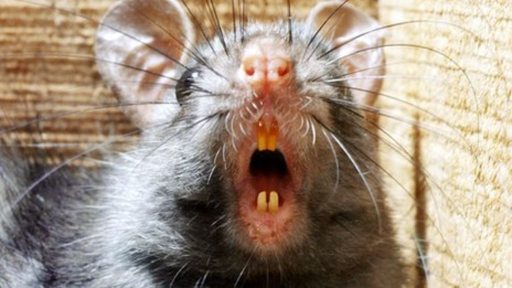 Black Rats Rainforest Invasion Speeded By Deforestation