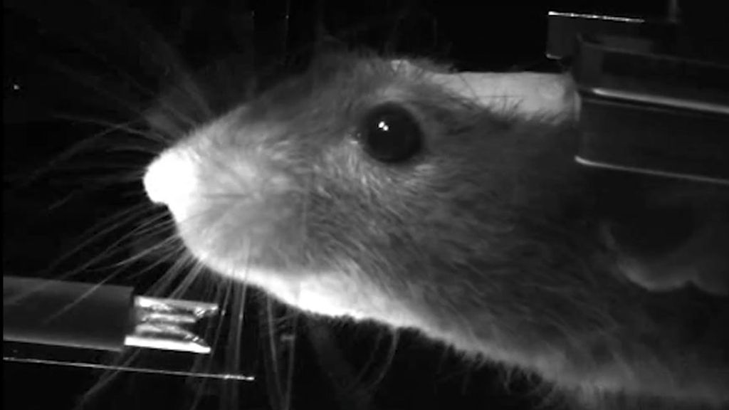 'Virtual reality' for mice to aid neural research - BBC News