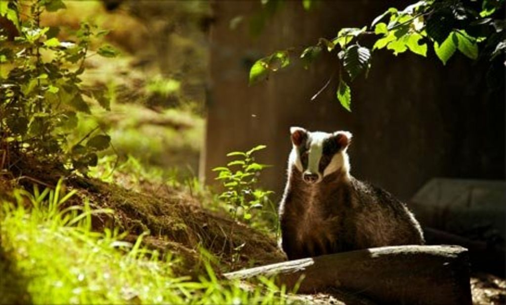 Badger cull: Are we silly to be so sentimental? - BBC News