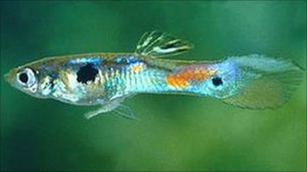 What are the experiments that i can do with my 6 guppy fishes for my term paper?