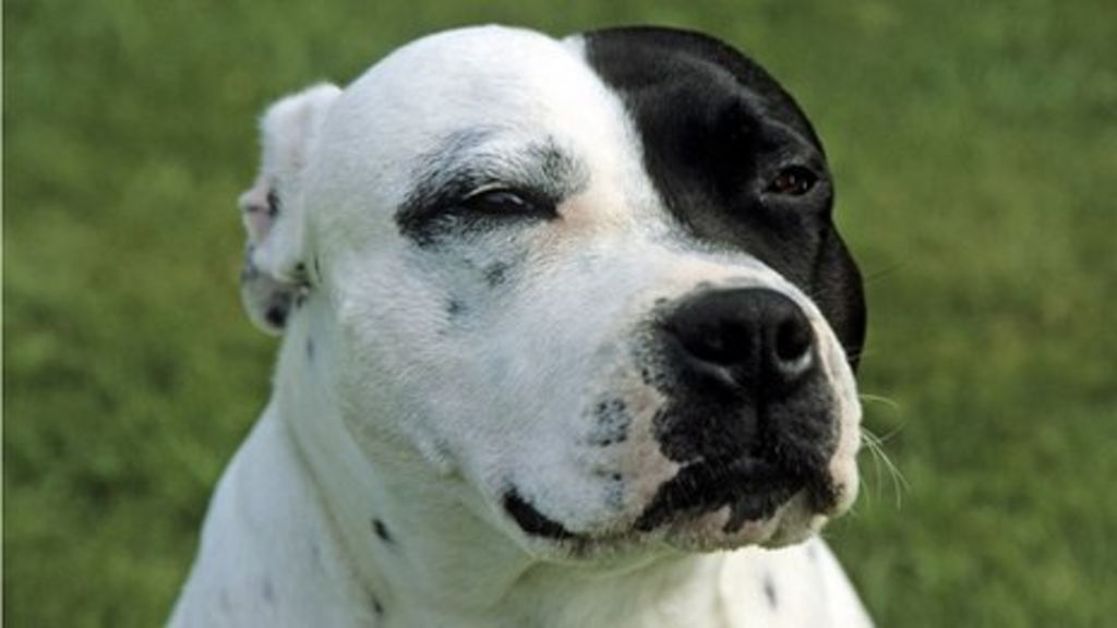 Battersea Dogs Home Staffies