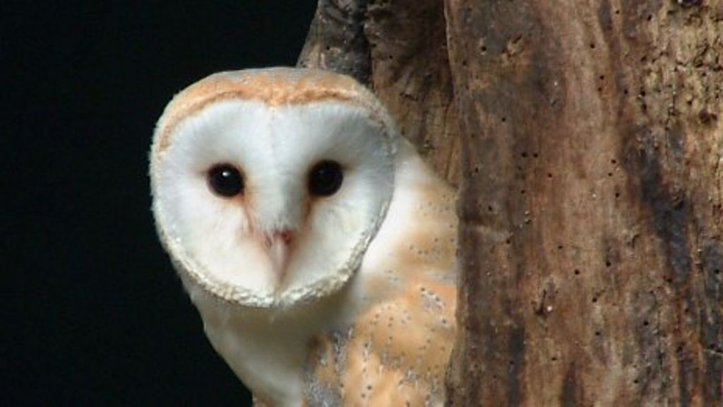 Devon and Cornwall barn owls threatened by weather - BBC News