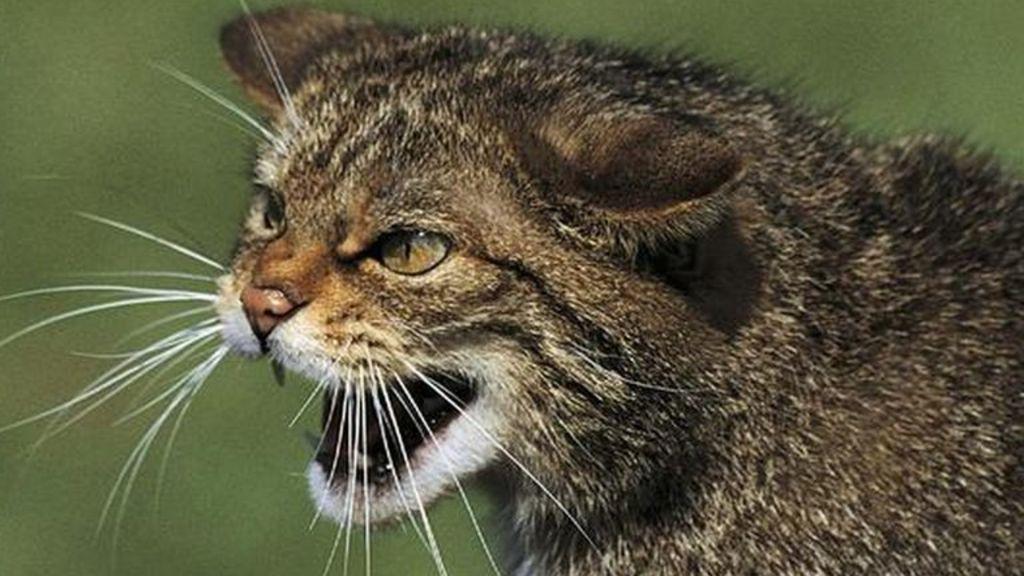 scottish wildcat  u0026 39 safe haven u0026 39  set up in ardnamurchan