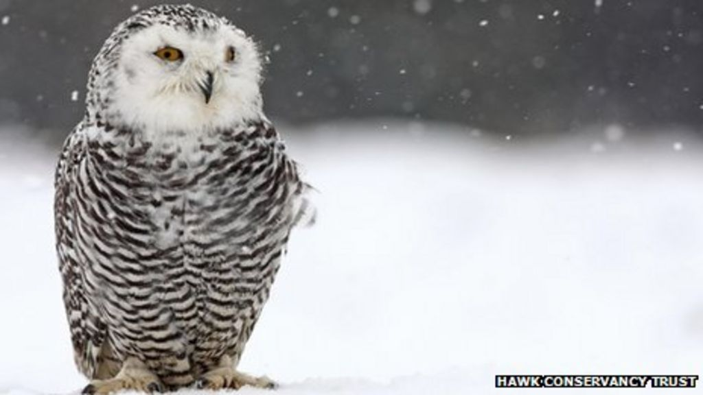 snowy owl spotted in cairngorms