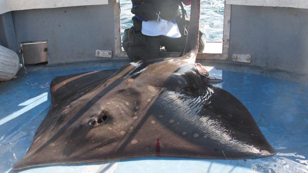 Giant skate: Powys angler David Griffiths' 107kg fish ...