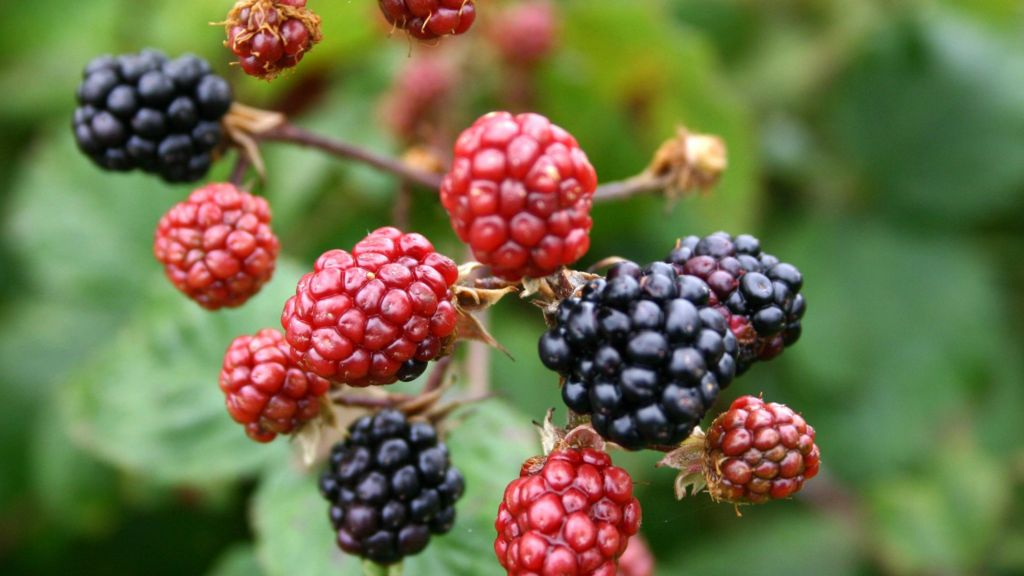 scottish summer boosts wild berry crop