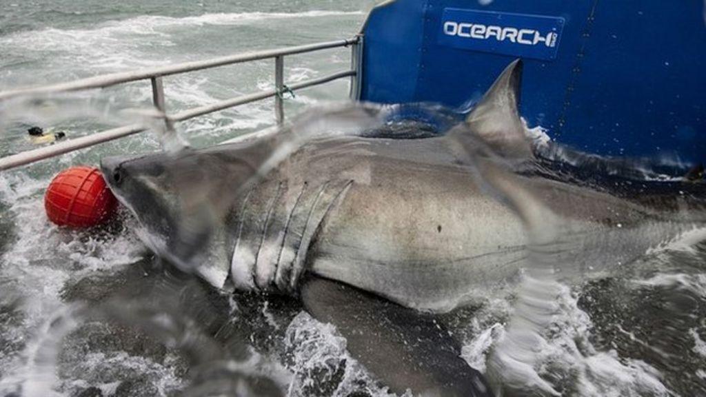 Transatlantic Great White Shark May Be Pregnant Bbc News