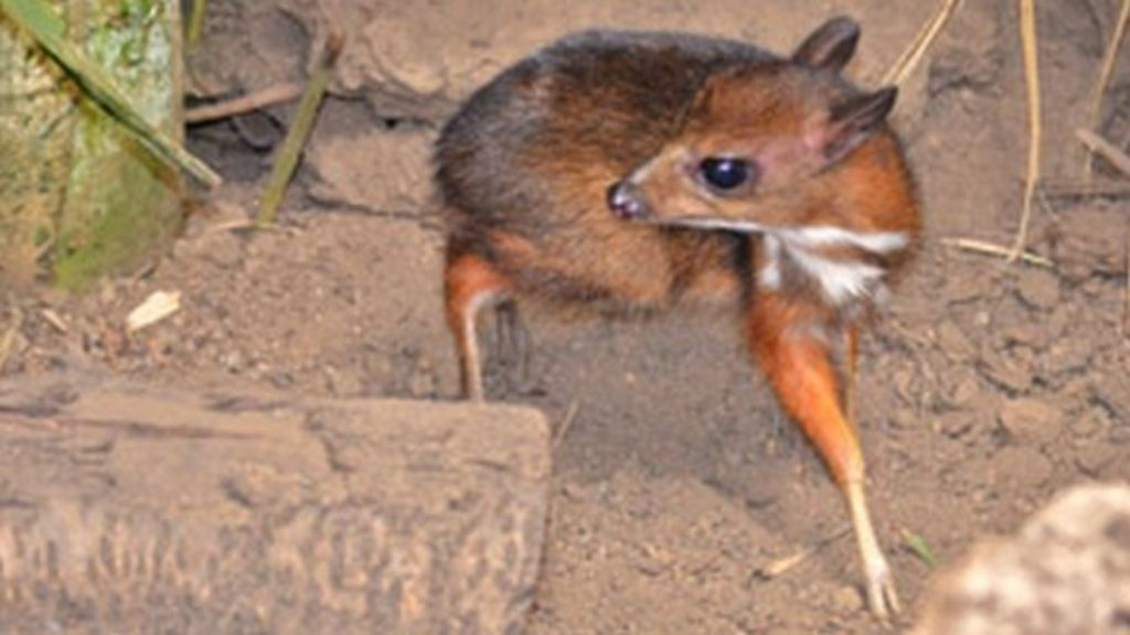 Hamster Size Hamster-sized Deer Born in