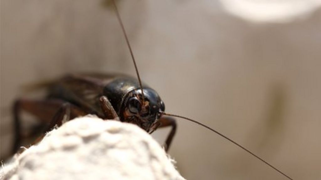Crickets in two places fall silent to survive - BBC News