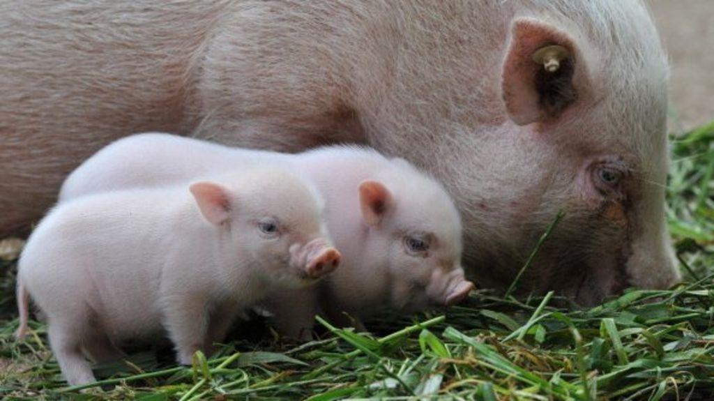 Real Mini Animals 100 Swansea  micro pigs