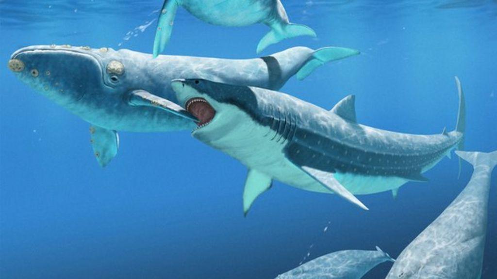 Bigger Than Megalodon Shark Toy : Monster shark kept whales in check bbc news