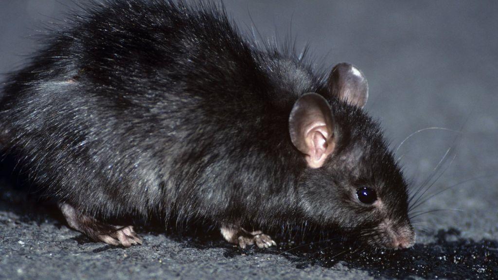 rat fleas #9