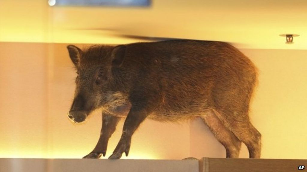 Wild Boar Wanders Into Hong Kong Shopping Mall Bbc News