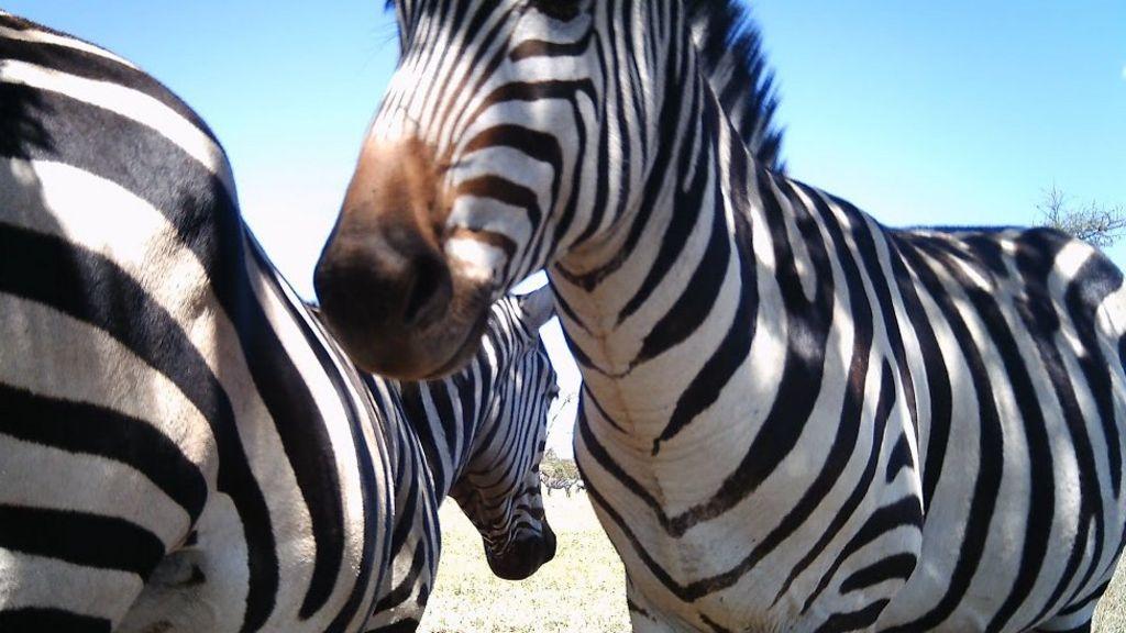 Automated cameras record Serengeti life - BBC News