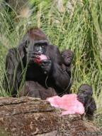 A gorilla and her babies eat a fruit tea ice block with hazelnuts