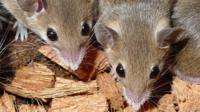 File image of mice