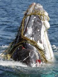 A whale entangled in a shark net off Australia's Gold Coast