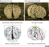 what role do the convolutions play in the brain