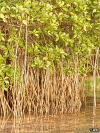 Mangrove roots, Sri Lanka (Image: Teng Wei)