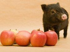 'Micro-pig'