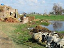 Cows in village of Bain Sharif