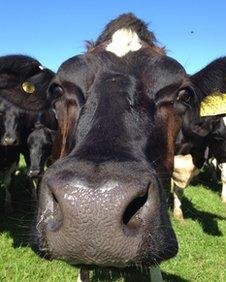 Close up of a dairy cow