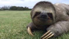 Sloth in Rio, Brazil