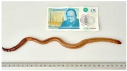 В Британии усыпили самого длинного червяка в стране