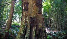 Árbol con huecos donde se colocan restos de los seres queridos cuando se trata de bebés y niños pequeños.