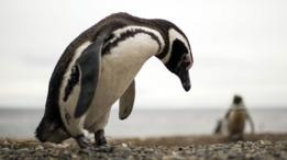 Pingüinos magallánicos o patagónicos en Chile.