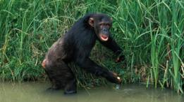 Un chimpancé a la orilla del agua