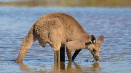 Un canguro bebiendo agua