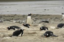 Pingüinos gentú -Pygoscelis papua, también conocidos como pingüinos papúa o de vincha- en Bahía Yorke, Malvinas/Falklands.