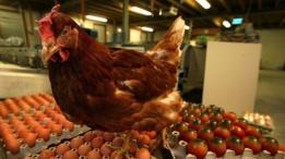 Un pollo parado sobre unos cartones de huevos