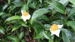 چائے کا پودا