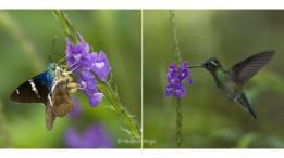 Polilla y colibrí sobre una falsa verbena