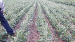Cosechas afectadas por las langostas en Bolivia