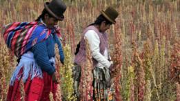 Dos cultivadoras de quinua trabajando en el campo.