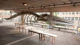 Whale at Cambridge University