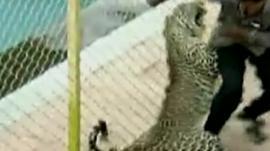 Leopard attacking man in school