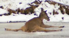 A deer trapped on the ice